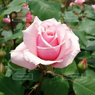 ピンクの薔薇の写真・画像素材[3406277]