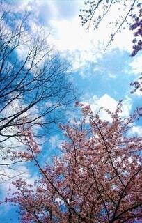 桜を見上げての写真・画像素材[4365503]