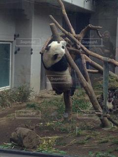 シャンシャン 2歳の写真・画像素材[2235378]