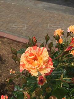 花の写真・画像素材[142479]