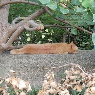 木陰でべったりお昼寝の茶トラ猫の写真・画像素材[3530837]
