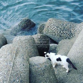 河の堤防の防波ブロックを伝わって河の水を飲みに水面に降りて行く白黒猫の写真・画像素材[3542285]