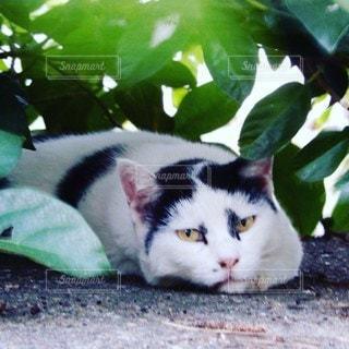 樹木の葉っぱの陰に隠れてお昼寝の八割れ猫の写真・画像素材[3572186]