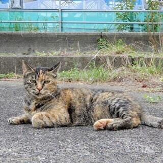 地面に寝そべってこちらを見ている黒トラ猫の写真・画像素材[3681487]