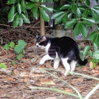 樹木の下の落ち葉の中をお散歩の八割れ猫の写真・画像素材[3699074]