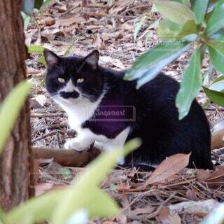 木陰からこちらを見ている八割れ猫の写真・画像素材[3830910]