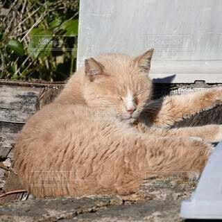 日向ぼっこでお昼寝のトラ猫の写真・画像素材[4040375]