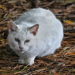 地面に座ってこちらを見ている白猫の写真・画像素材[4260776]