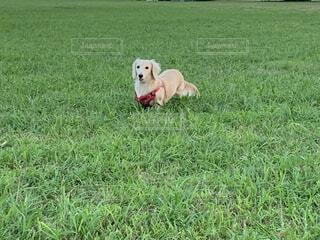 芝生で覆われた犬の写真・画像素材[3708421]