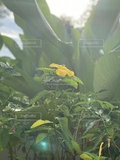 黄色いハイビスカスの写真・画像素材[3411172]