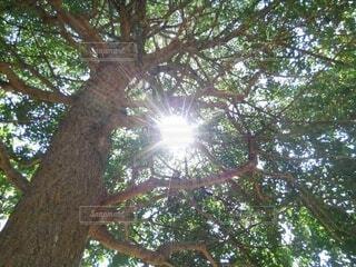 いちょうの木(雌)①の写真・画像素材[4760504]