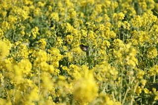 メジロと菜の花の写真・画像素材[4186693]