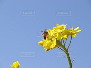 菜の花の蜜を求めての写真・画像素材[4204129]