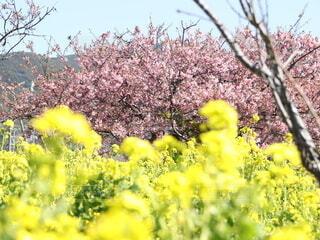 桜と菜の花がとてもキレイの写真・画像素材[4204139]