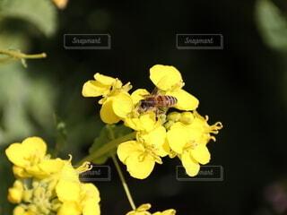 菜の花に受粉するミツバチの写真・画像素材[4204136]