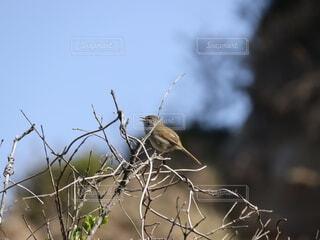 木の枝で鳴くウグイスの写真・画像素材[4309296]