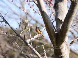 枝に止まるジョウビタキの写真・画像素材[4309297]