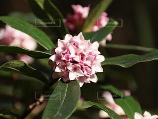 手毬のような花の写真・画像素材[4309349]