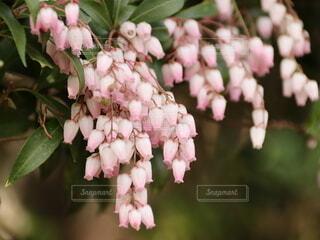小さな鐘のような花の写真・画像素材[4309363]