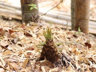 竹の子が美味しい季節の写真・画像素材[4314984]