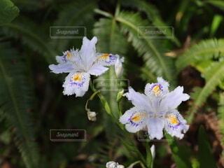 シャガの花の写真・画像素材[4386446]