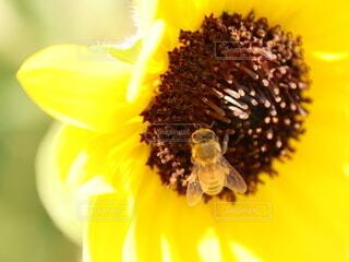 ミツバチとひまわりの写真・画像素材[4657860]