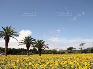 夏空とひまわり畑の写真・画像素材[4657864]