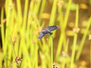 羽の綺麗なトンボの写真・画像素材[4658951]