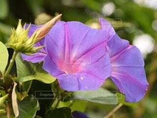 綺麗に咲いたアサガオの写真・画像素材[4660284]