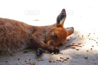 カンガルーのお昼寝の写真・画像素材[3454985]