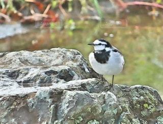 岩の上にいる小鳥の写真・画像素材[3421549]