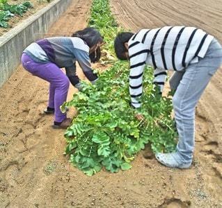 大根収穫の写真・画像素材[3441060]