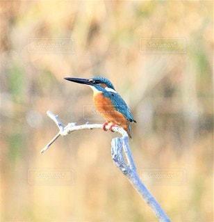 木の枝に止まっている小さな青い鳥の写真・画像素材[3471054]