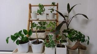 部屋のミニ観葉植物達の写真・画像素材[3448507]