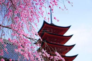 桜の写真・画像素材[148927]