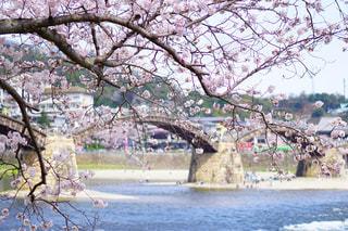 桜の写真・画像素材[149406]