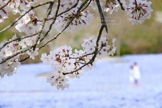 桜とネモフィラのある景色。の写真・画像素材[3433067]