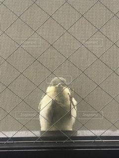家の網戸にとまる野鳥の写真・画像素材[3536898]
