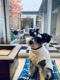 窓の前に座っている犬の写真・画像素材[3432017]