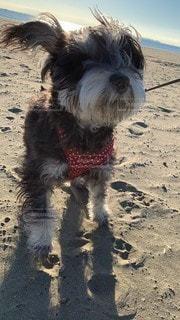 砂浜の上に立っている犬の写真・画像素材[3433332]