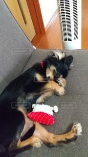 ソファーで眠る犬の写真・画像素材[3437328]