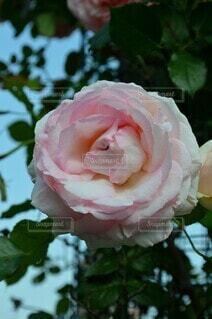ふわふわピンクの薔薇の写真・画像素材[4541765]