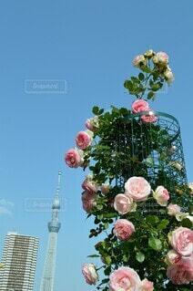 薔薇と青空の写真・画像素材[4544886]