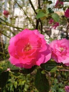 ピンクが華やかの写真・画像素材[4917327]