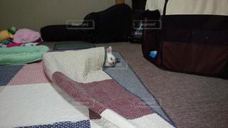 人間みたいに寝ているチワワの写真・画像素材[3441107]