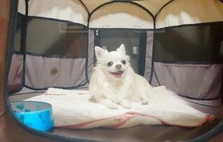 ゲージの中の愛犬の写真・画像素材[4931244]