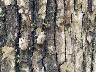 木についていたセミの抜け殻の写真・画像素材[3493953]
