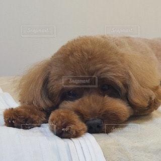 ソファーに横たわる犬の写真・画像素材[3499005]