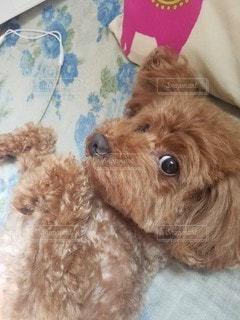 茶色の犬の写真・画像素材[3607095]