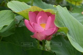蓮の花の写真・画像素材[3439759]